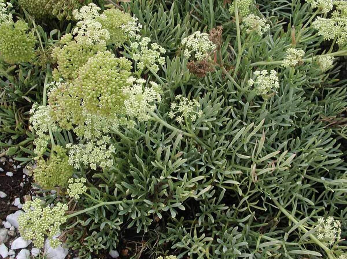 Pianta Simile Al Rosmarino finocchio marino (crithmum maritimum)   antica farmacia