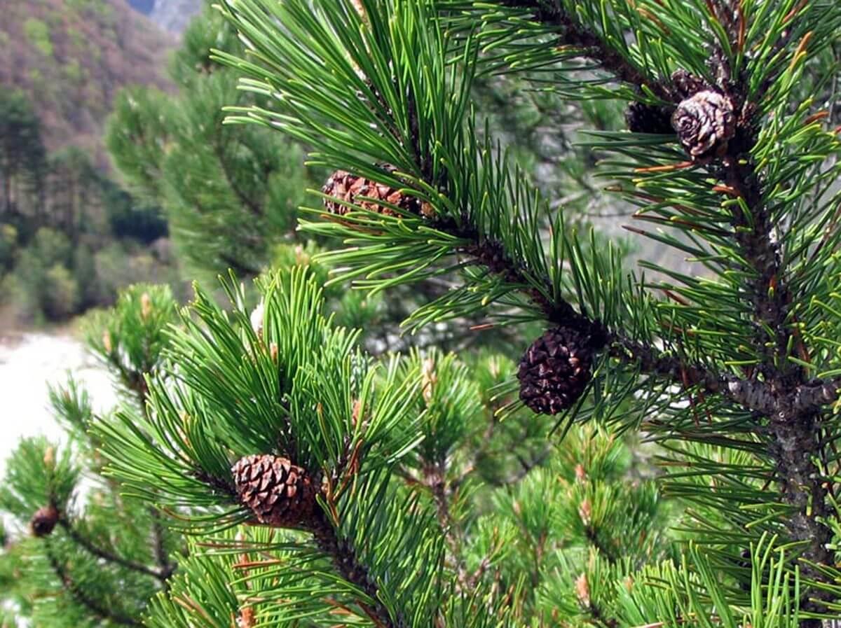 Delightful PINO MUGO (Pinus Mugo)